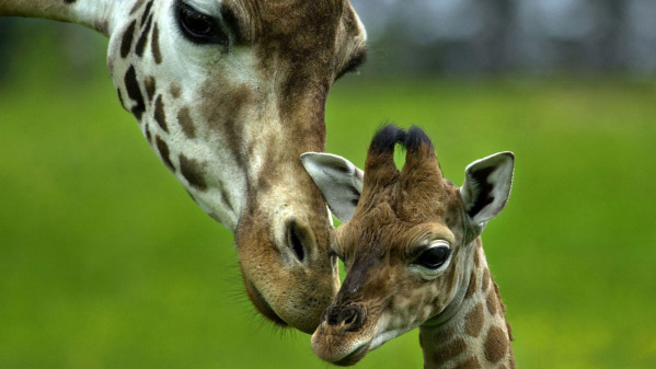 3. When a giraffe is ready to give birth, she'll return to the place she was born to have her baby.