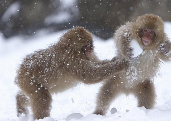 6. Macaques have snowball fights to entertain themselves.