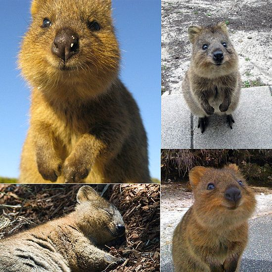 8. The Quokka is known as the happiest animal on earth because of its unfading smile.