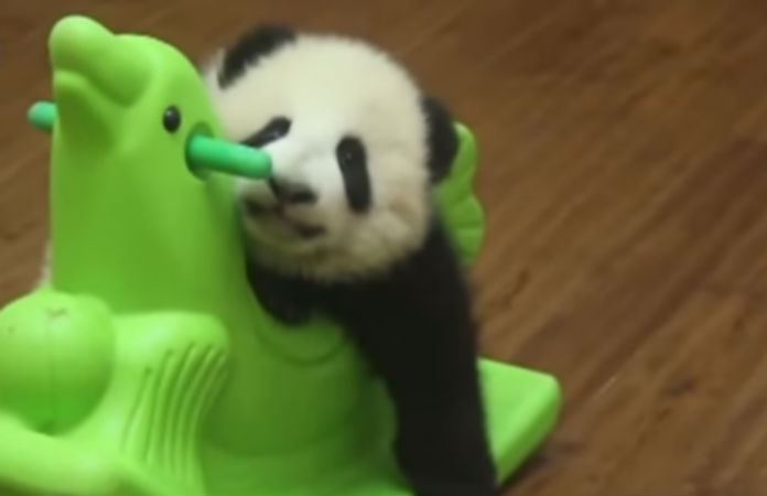 This Baby Panda Rocking On A Toy Horse Is All Of Us