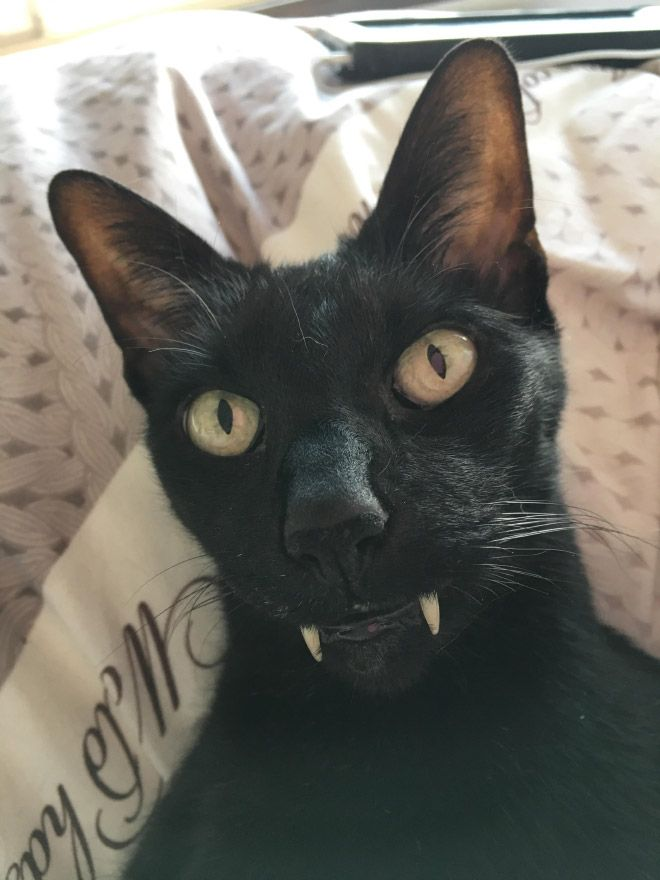 18 Photos Prove That Jokes With Vampire Cats Are Bad
